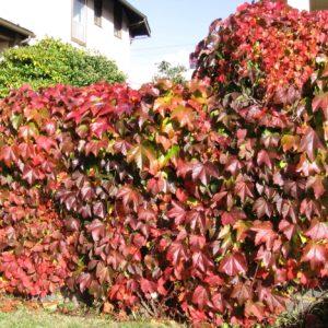 Troki Virginia Creeper | Parthenocissus quinquefolia 'Troki'