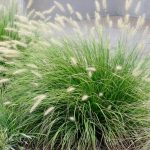 Buy Fountain Grass | Pennisetum alopecuroides 'Little Bunny'