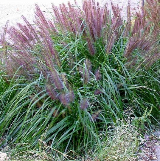 Black Fountain Grass   Pennisetum alopecuroides 'Moudry'