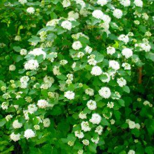 Buy Ninebark Shrub | Physocarpus opulifolius 'Nanus'
