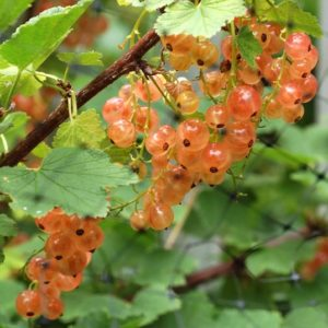 Pink Currant 1 300x300 - Ribes rubrum 'Pink Champagne'