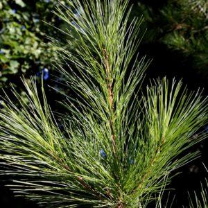 white pine needle - pinus strobus