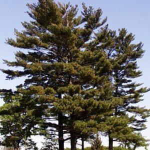 white pine plant - pinus strobus