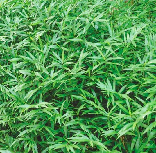 Pygmy Bamboo | Dwarf Hardy Bamboo