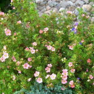 Potentilla-fruticosa-Pink-beauty-bush-flowers