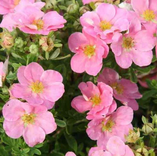 Buy Pink Potentilla | Potentilla fruticosa 'Pink beauty'
