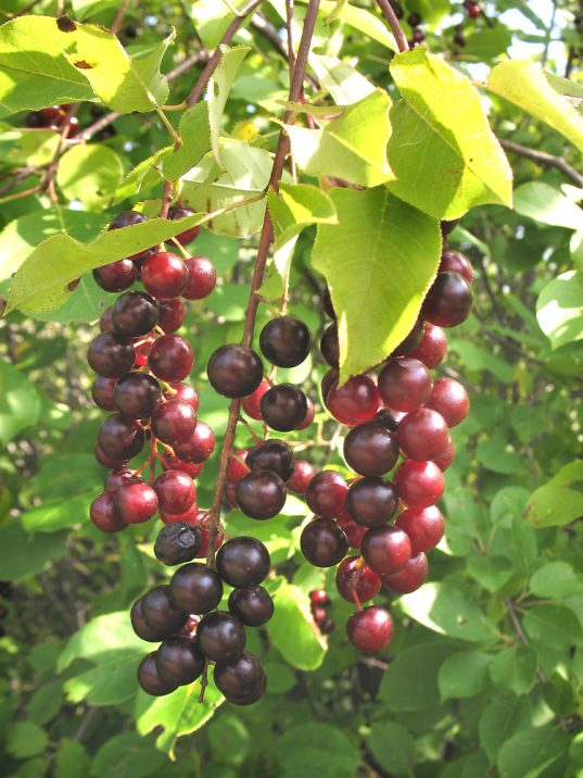 hokecherry FOR SALE | Prunus virginiana