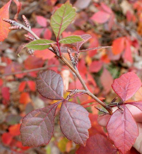 Fragrant Sumac BUY ONLINE   Rhus aromatica 'Grow Low'