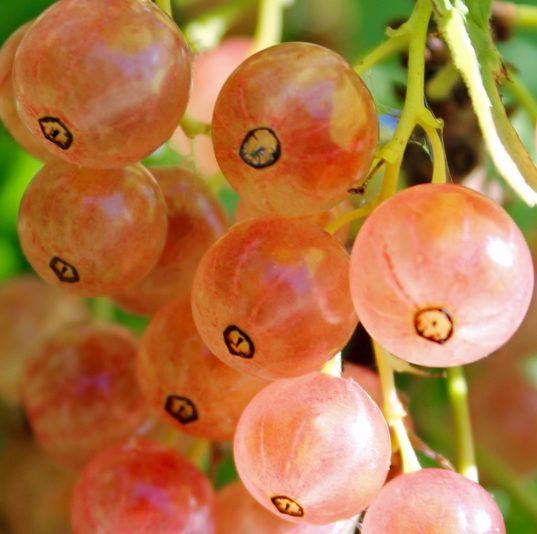 Pink Currant FOR SALE   Ribes rubrum 'Pink Champagne'