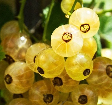 White Currant Bush FOR SALE   Ribes rubrum 'White Pearl'