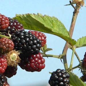 Rubus-fruticosus-Chester-thornless-vine-bush with fruit