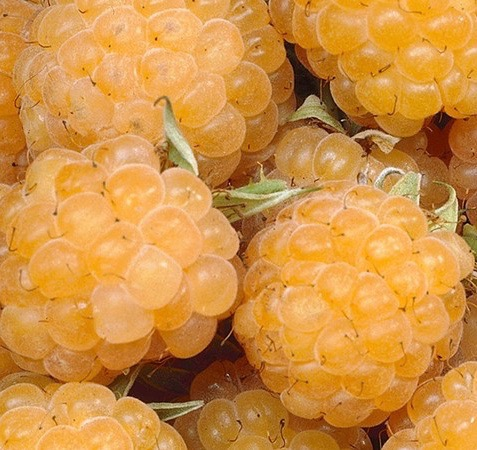 Anne Yellow Raspberry FOR SALE | Rubus idaeus 'Anne'