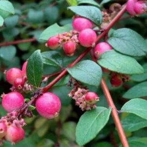 Snowberry FOR SALE | Symphoricarpos x chenaultii 'Hancock'