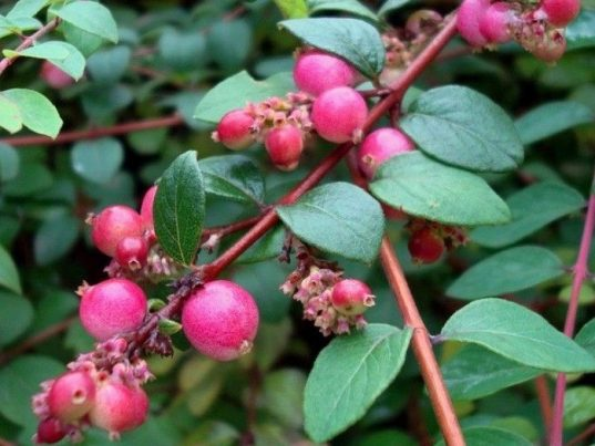 Snowberry FOR SALE | Symphoricarpos x chenaultii 'Hancock'