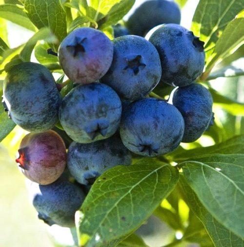Highbush Blueberry Plants for Sale   Vaccinium corymbosum 'Patriot'