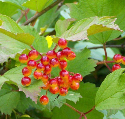 American Cranberrybush FOR SALE   Viburnum trilobum