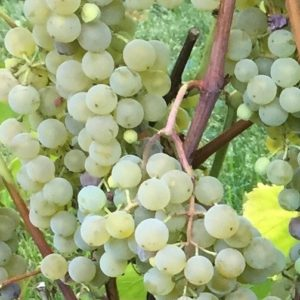 Golden Muscat Grape FOR SALE | Vitis 'Osceola Muscat'