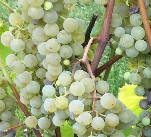 Golden Muscat Grape FOR SALE | Vitis 'Osceola Muscat'