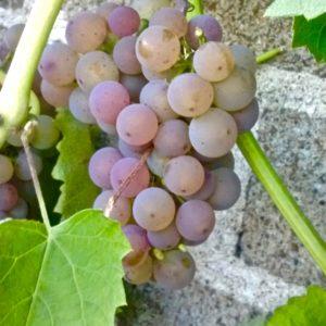 Hardy Grape Variety | Somerset Grape | Vitis 'Somerset'