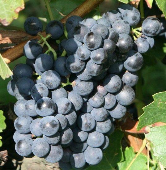 Hardy Black Grape Vines FRUIT   Vitis 'Trollhaugen'