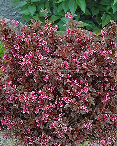 Purple Weigela for sale - Weigela Tango in bloom