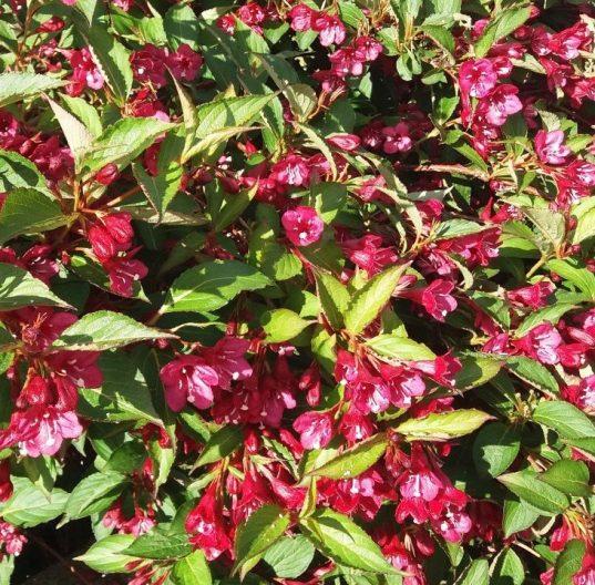 Red Weigela FOR SALE | Weigela florida 'Bristol Ruby'