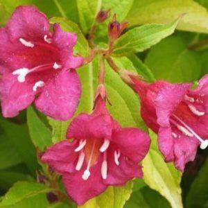 Weigela florida Looymansii Aurea 300x300 - Weigela florida 'Looymansii Aurea'