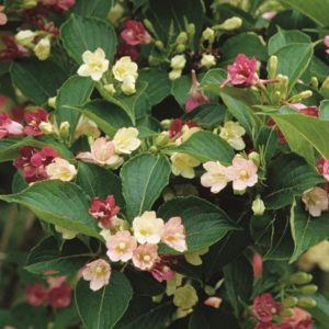 Bicoloured Weigela - Weigela florida 'Marjorie'