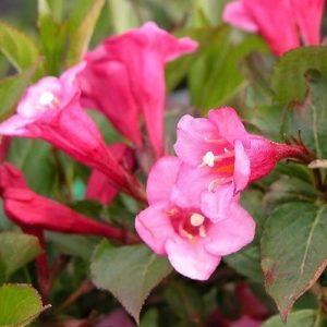 Minuet Weigela - Dwarf Pink Weigela