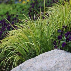 acorus gramineus oborozuki planting 300x300 - Acorus gramineus 'Oborozuki'