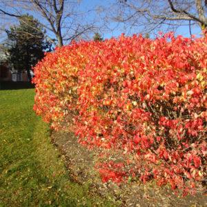 dwarf burning bush plant - euonymus alatus 'Compactus'