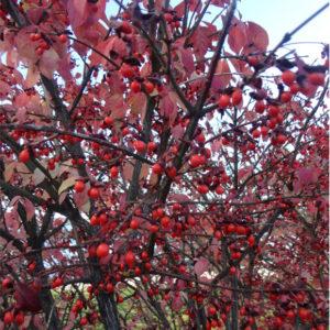 burning bush fruit - euonymus alatus 'Compactus'