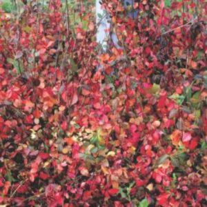 euonymus coloratus 300x300 - Euonymus fortunei 'Coloratus'