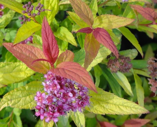 Spiraea bumalda Flaming mound - 11 Must Have Spirea Shrubs – Bring Dramatic Impact to the Garden