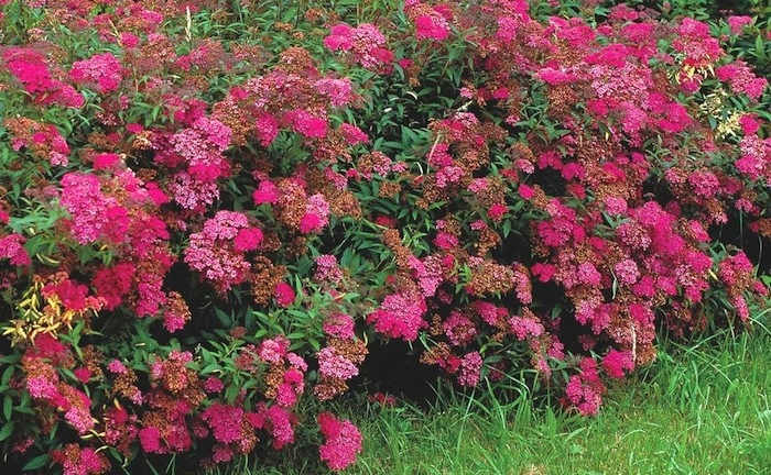 Spiraea japonica Anthony Waterer Hedge - 11 Must Have Spirea Shrubs – Bring Dramatic Impact to the Garden