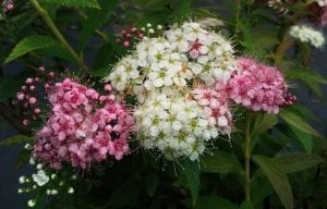 Shirobana-Spiraea-shrub