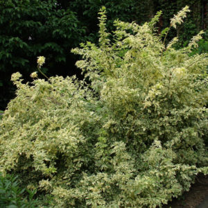 Eleutherococcus sieboldianus variegatus shrub for shade 300x300 - Eleutherococcus sieboldianus 'Variegatus'
