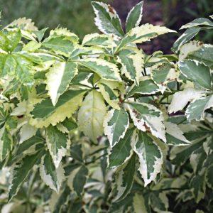 Eleutherococcus sieboldianus variegatus variegated leaves 300x300 - Eleutherococcus sieboldianus 'Variegatus'