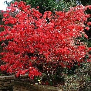 Euonymous Red Cascade shrub 300x300 - Euonymus europaeus 'Red cascade'