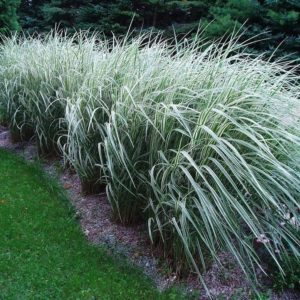 Variegated Japanese Silver Grass hedge