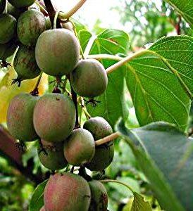 Anna Hardy Female Kiwi plants are commercially grown Kiwis. These golden green fruit taste just like Kiwi