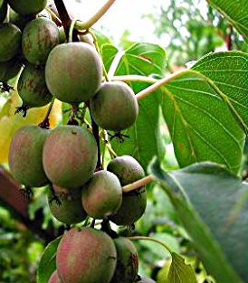 Anna Hardy Female Kiwi plants are commercially grown Kiwis. These golden green fruit taste just like Kiwi