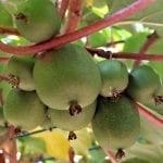 Michigan State Mini Kiwi plants are very hardy