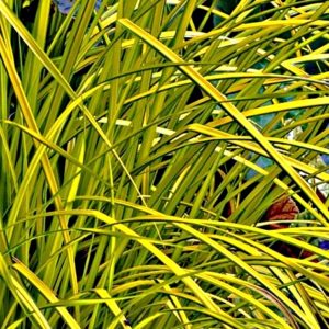 this tall yellow grass  reflects its beautiful yellow leaves with dark green margins in ponds and streams.