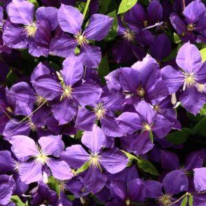 clematis jackmanii purple flower 300x300 - Clematis 'Jackmanii'