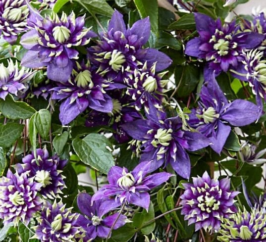 Clematis Taiga is a double flowered clematis