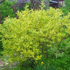 cornus alba gouchaultii spring golden variegated dogwood leaves 300x300 - Cornus alba 'Gouchaultii'