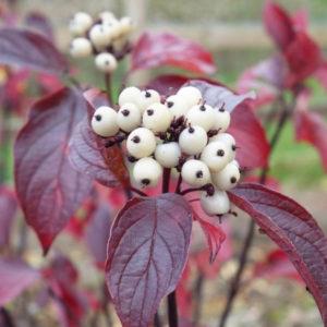 cornus alba kesselringii fall colour white fruits 300x300 - Cornus alba 'Kesselringii'