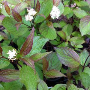 cornus alba kesselringii flower in bloom 300x300 - Cornus alba 'Kesselringii'