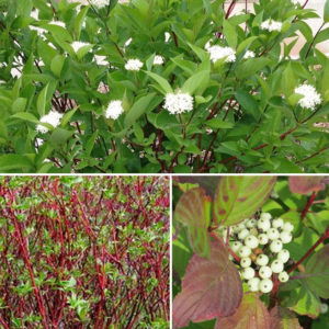 cornus stolonifera red twig dogwood flower fruit 300x300 - Cornus sericea